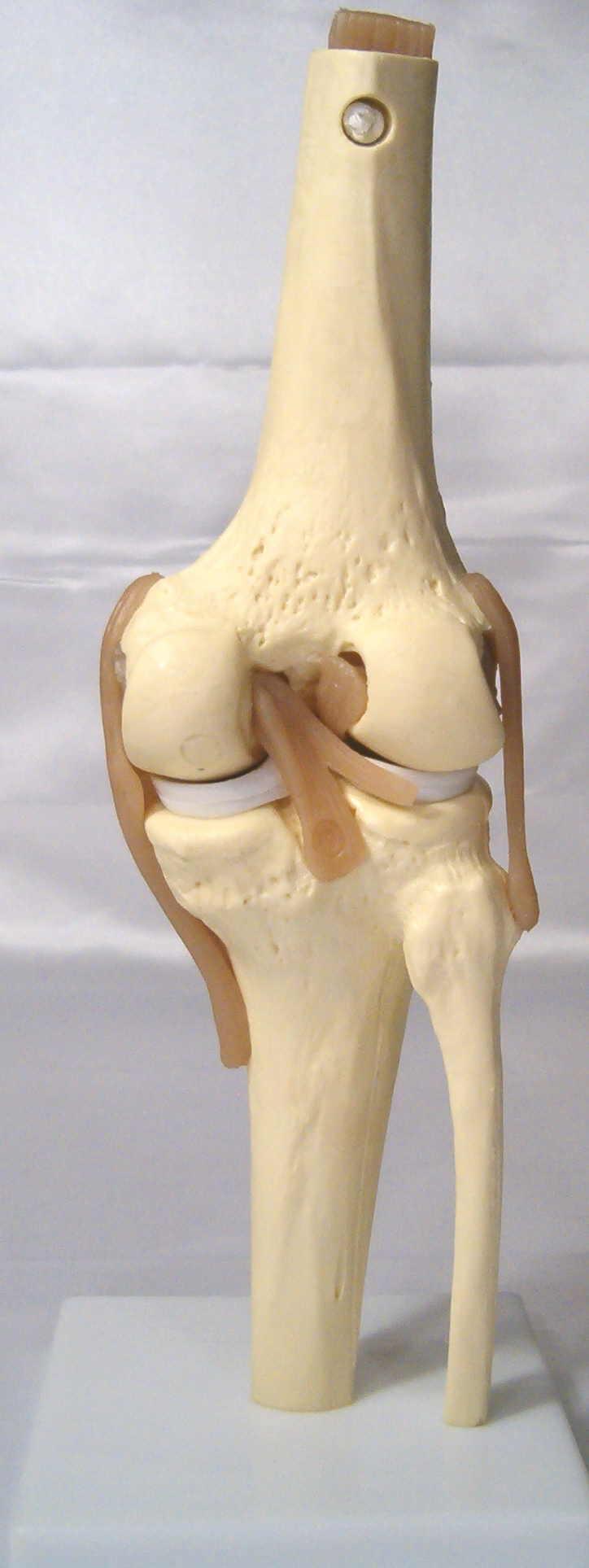 Knee joint product description ccuart Images